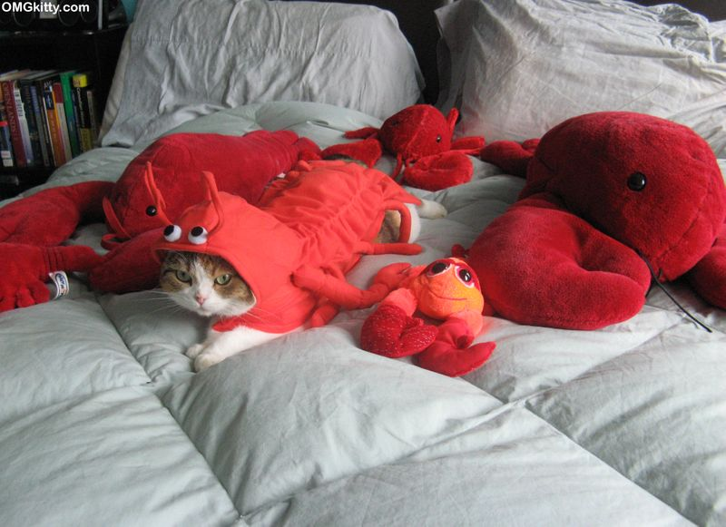 cat in lobster costume with stuffed lobsters