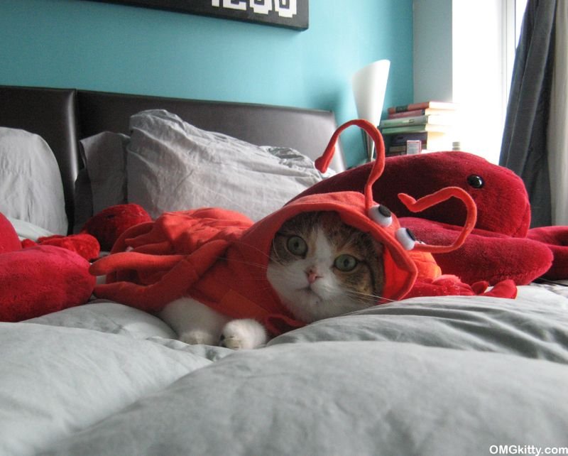 cat in a lobster costume