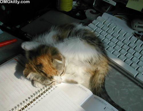 cute funny scottish fold kitten