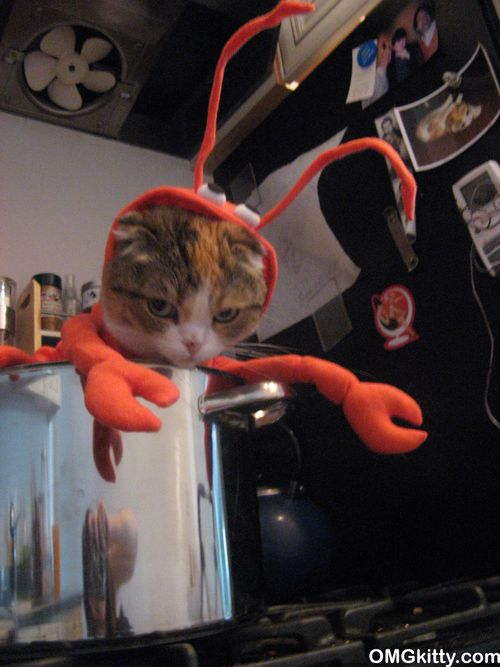 cute scottish fold cat in a lobster halloween costume.