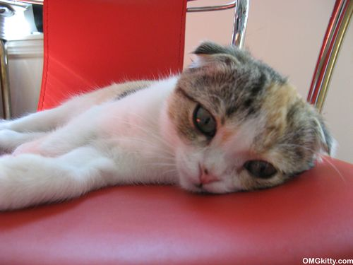scottish fold kitten on a red chair