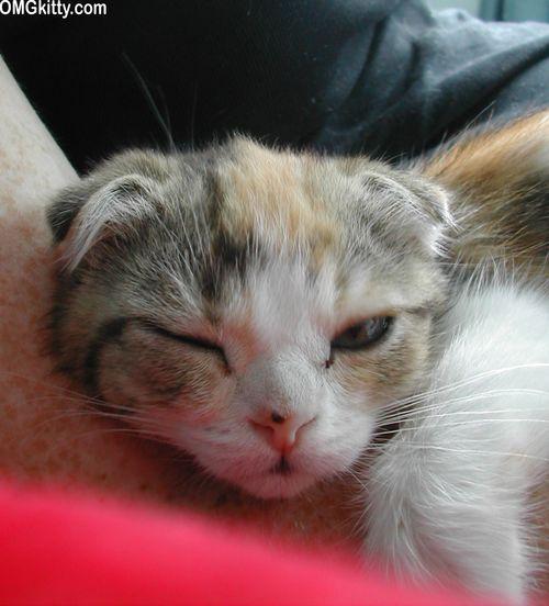 cute scottish fold kitten winking