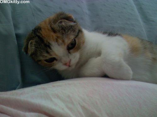 World's cutest kitten, cuddly scottish fold