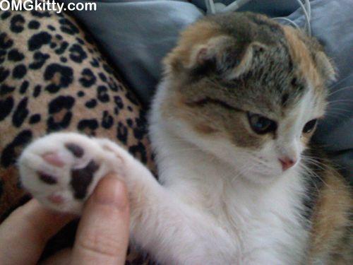 scottish fold kitten mismatched paw pad toes